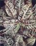 Croton