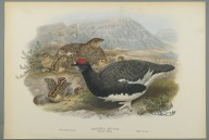 Brooklyn Museum: Lagopus Mutus, Summer Plumage: Common Ptarmigan