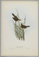 Brooklyn Museum: Salicaria Arundinacea: Reed Warbler