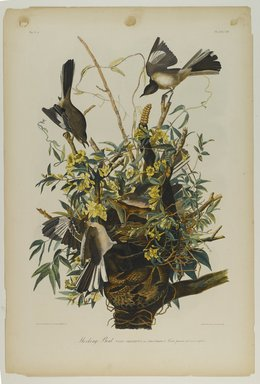 John J. Audubon (American, 1785-1851). Mocking Bird, 1861. Chromolithograph Brooklyn Museum, Gift of Seymour R. Husted Jr., 06.339.105