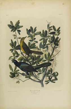 John J. Audubon (American, 1785-1851). Boat-tailed Grackle, 1861. Chromolithograph Brooklyn Museum, Gift of Seymour R. Husted Jr., 06.339.17