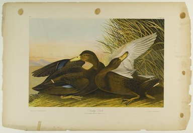 John James  Audubon (American, born Haiti, 1785-1851). Dusky Duck, 1861. Chromolithograph Brooklyn Museum, Gift of Seymour R. Husted Jr., 06.339.1