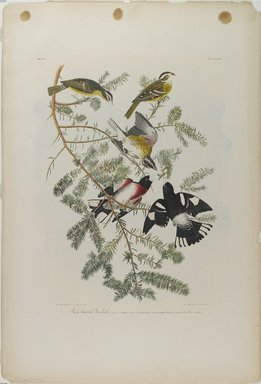 John J. Audubon (American, 1785-1851). Rose-breasted Grosbeak, 1861. Chromolithograph, 40 x 27 1/8 in.  (101.6 x 68.9 cm). Brooklyn Museum, Gift of Seymour R. Husted Jr., 06.339.21