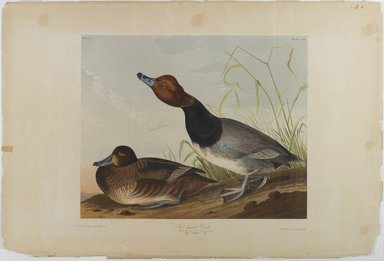 John J. Audubon (American, 1785-1851). Red-headed Duck, 1861. Chromolithograph, sheet:  26 3/4 x 40 in.  (67.9 x 101.6 cm);. Brooklyn Museum, Gift of Seymour R. Husted Jr., 06.339.29