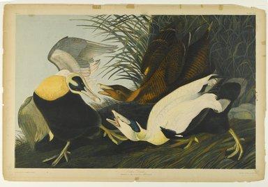 John J. Audubon (American, 1785-1851). Eider Duck, 1861. Chromolithograph Brooklyn Museum, Gift of Seymour R. Husted Jr., 06.339.30