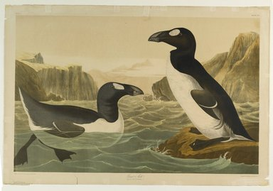 John J. Audubon (American, 1785-1851). Great Auk, 1861. Chromolithograph Brooklyn Museum, Gift of Seymour R. Husted Jr., 06.339.39