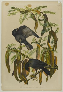 John J. Audubon (American, 1785-1851). Fish Crow, 1861. Chromolithograph Brooklyn Museum, Gift of Seymour R. Husted Jr., 06.339.46