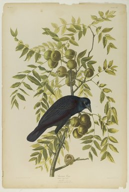 Brooklyn Museum: American Crow