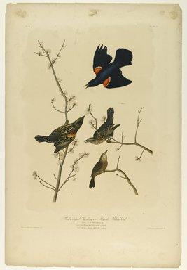 John J. Audubon (American, 1785-1851). Red-winged Starling or Marsh Blackbird, 1861. Chromolithograph Brooklyn Museum, Gift of Seymour R. Husted Jr., 06.339.4a-b