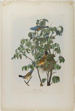 John J. Audubon (American, 1785-1851). Blue Grosbeak, 1861. Lithograph, 29 x 20 in.  (73.7 x 50.8 cm). Brooklyn Museum, Gift of Seymour R. Husted Jr., 06.339.5
