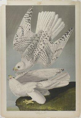 John James  Audubon (American, born Haiti, 1785-1851). Iceland or Jer Falcon, 1861. Chromolithograph Brooklyn Museum, Gift of Seymour R. Husted Jr., 06.339.97