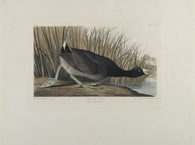 John J. Audubon (American, 1785-1851). American Coot, 1835. Hand colored engraving and aquatint on wove paper, 21 1/2 x 28 1/4 in. Brooklyn Museum, Bequest of Mrs. Carl L. Selden, 1996.157.1
