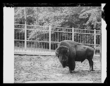 Daniel Berry Austin (American, born 1863, active 1899-1909). Buffalo (Mike), Prospect Park, Brooklyn, ca. 1899-1909. Gelatin silver glass dry plate negative Brooklyn Museum, Brooklyn Museum/Brooklyn Public Library, Brooklyn Collection, 1996.164.1-1074