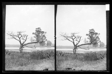 Daniel Berry Austin (American, born 1863, active 1899-1909). Ryder's Pond (Strome Kill), Old Cedar, West Side of Pond, Brooklyn, ca. 1899-1909. Gelatin silver glass dry plate negative Brooklyn Museum, Brooklyn Museum/Brooklyn Public Library, Brooklyn Collection, 1996.164.1-76
