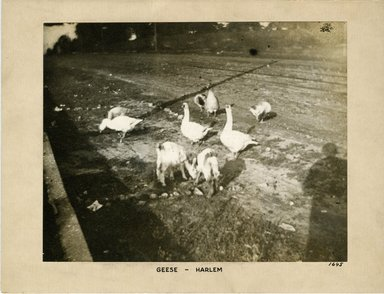 George Bradford Brainerd (American, 1845-1887). Geese, Harlem, New York, ca. 1872-1887. Collodion silver glass wet plate negative Brooklyn Museum, Brooklyn Museum/Brooklyn Public Library, Brooklyn Collection, 1996.164.2-1645