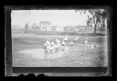 George Bradford Brainerd (American, 1845-1887). Geese, 4th Avenue, Brooklyn, ca. 1872-1887. Collodion silver glass wet plate negative Brooklyn Museum, Brooklyn Museum/Brooklyn Public Library, Brooklyn Collection, 1996.164.2-1792