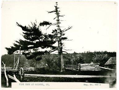 George Bradford Brainerd (American, 1845-1887). Pine Tree, Bristol, Connecticut, ca. 1872-1887. Collodion silver glass wet plate negative  Brooklyn Museum, Brooklyn Museum/Brooklyn Public Library, Brooklyn Collection, 1996.164.2-693B