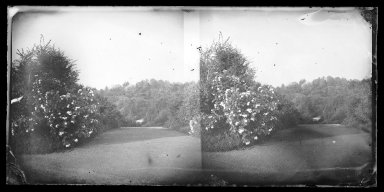 Brooklyn Museum: Rose Bush, Prospect Park, Brooklyn