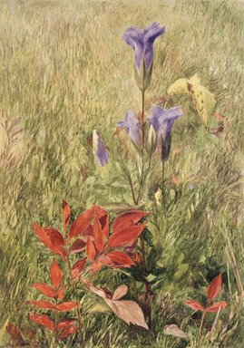 John Henry Hill (American, 1839-1922). Fringed Gentians, ca. 1867. Watercolor with graphite pencil underdrawing on paper, 10 1/8 x 7 1/8 in. (25.7 x 18.1 cm). Brooklyn Museum, Purchased with funds given by Mr. and Mrs. Leonard L. Milberg, 1996.90.1