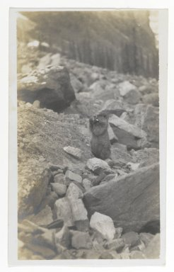 American. [Untitled] (A Marmot Standing in a Rocky Area), ca. 1900. Gelatin silver photograph, 5 1/4 x 3 1/8 in. (13.3 x 8.0 cm). Brooklyn Museum, Gift of Sasha Nyary and Family, 1997.163.3