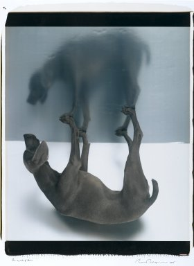 William Wegman (American, born 1943). The Upside of Down, 2005. Dye diffusion photograph (Polaroid), Mounted: 34 1/2 x 26 1/2 in. (87.6 x 67.3 cm). Brooklyn Museum, Gift of the artist, 2006.15. © William Wegman