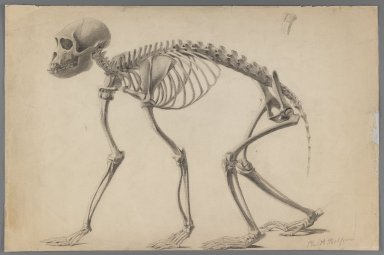 Philip H. Wolfrom (American, 1870-1904). Skeleton of a Primate, n.d. Graphite on paper, Sheet: 12 15/16 x 19 7/16 in. (32.9 x 49.4 cm). Brooklyn Museum, Gift of Anna Wolfrom Dove, 27.809