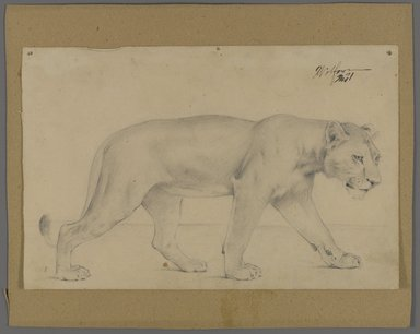 Philip H. Wolfrom (American, 1870-1904). Striding Lioness, n.d. Graphite on paper mounted to paperboard, Sheet: 6 x 9 1/4 in. (15.2 x 23.5 cm). Brooklyn Museum, Gift of Anna Wolfrom Dove, 27.849