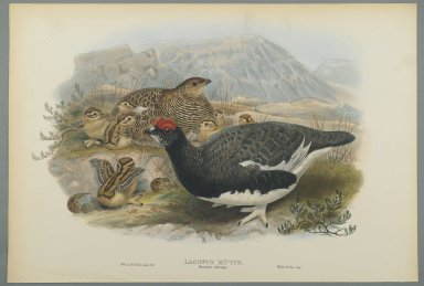 John Gould (British, 1804-1881). Lagopus Mutus, Summer Plumage: Common Ptarmigan. Lithograph on wove paper, Sheet: 21 1/4 x 14 1/2 in. (54 x 36.8 cm). Brooklyn Museum, Gift of the Estate of Emily Winthrop Miles, 64.98.103