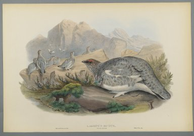 John Gould (British, 1804-1881). Lagopus Mutus, Autumn Plumage: Common Ptarmigan. Lithograph on wove paper, Sheet: 21 1/4 x 14 1/2 in. (54 x 36.8 cm). Brooklyn Museum, Gift of the Estate of Emily Winthrop Miles, 64.98.104