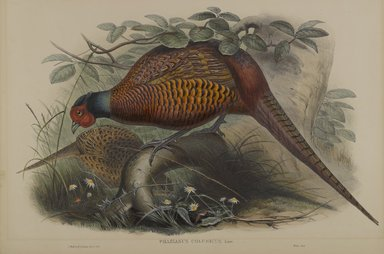 John Gould (British, 1804-1881). Phasianus Colchicus: Common Pheasant. Lithograph on wove paper, Sheet: 21 1/4 x 14 1/2 in. (54 x 36.8 cm). Brooklyn Museum, Gift of the Estate of Emily Winthrop Miles, 64.98.105