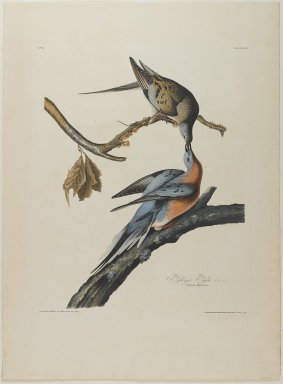 John J. Audubon (American, 1785-1851). Passenger Pigeon. Aquatint, approx.: 27 x 40 in. (68.6 x 101.6 cm). Brooklyn Museum, Gift of the Estate of Emily Winthrop Miles, 64.98.10