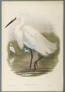 John Gould (British, 1804-1881). Herodias Garzetta - Little Egret. Lithograph on wove paper, Sheet: 21 1/4 x 14 1/2 in. (54 x 36.8 cm). Brooklyn Museum, Gift of the Estate of Emily Winthrop Miles, 64.98.110