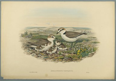 John Gould (British, 1804-1881). Aegialophilus Cantianus - Kentish Plover. Lithograph on wove paper, Sheet: 21 1/4 x 14 1/2 in. (54 x 36.8 cm). Brooklyn Museum, Gift of the Estate of Emily Winthrop Miles, 64.98.116