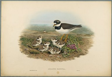 John Gould (British, 1804-1881). Aegialitis Hiaticula - Ringed Plover. Lithograph on wove paper, Sheet: 21 1/4 x 14 1/2 in. (54 x 36.8 cm). Brooklyn Museum, Gift of the Estate of Emily Winthrop Miles, 64.98.117