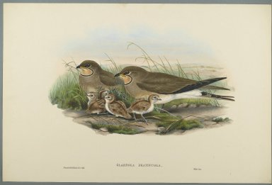 John Gould (British, 1804-1881). Glareola Pratincola - Common Pratincole. Lithograph on wove paper, Sheet: 21 1/4 x 14 1/2 in. (54 x 36.8 cm). Brooklyn Museum, Gift of the Estate of Emily Winthrop Miles, 64.98.118