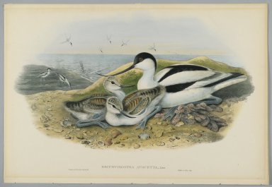 John Gould (British, 1804-1881). Recurvirostra Avocetta - Avocet. Lithograph on wove paper, Sheet: 21 1/4 x 14 1/2 in. (54 x 36.8 cm). Brooklyn Museum, Gift of the Estate of Emily Winthrop Miles, 64.98.120