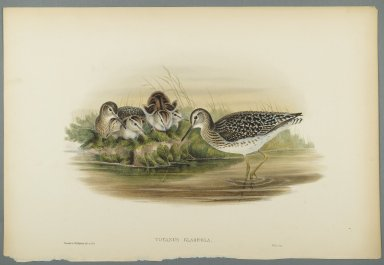John Gould (British, 1804-1881). Totanus Glareola - Wood Sandpiper. Lithograph on wove paper, Sheet: 21 1/4 x 14 1/2 in. (54 x 36.8 cm). Brooklyn Museum, Gift of the Estate of Emily Winthrop Miles, 64.98.121