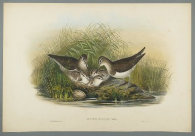 John Gould (British, 1804-1881). Actitis Hypoleucos - Summer Snipe. Lithograph on wove paper, Sheet: 21 1/4 x 14 1/2 in. (54 x 36.8 cm). Brooklyn Museum, Gift of the Estate of Emily Winthrop Miles, 64.98.122