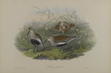John Gould (British, 1804-1881). Pelinda Cinclus, Summer Plumage - Dunlin. Lithograph on wove paper, Sheet: 21 1/4 x 14 1/2 in. (54 x 36.8 cm). Brooklyn Museum, Gift of the Estate of Emily Winthrop Miles, 64.98.123