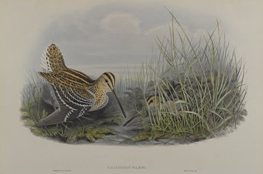 John Gould (British, 1804-1881). Gallinago Major - Great Snipe. Lithograph on wove paper, Sheet: 21 1/4 x 14 1/2 in. (54 x 36.8 cm). Brooklyn Museum, Gift of the Estate of Emily Winthrop Miles, 64.98.126