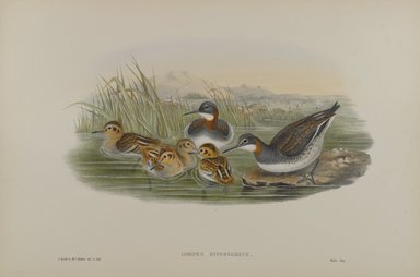 John Gould (British, 1804-1881). Lobipes Hyperboreus - Red-Necked Phalarope. Lithograph on wove paper, Sheet: 21 1/4 x 14 1/2 in. (54 x 36.8 cm). Brooklyn Museum, Gift of the Estate of Emily Winthrop Miles, 64.98.128