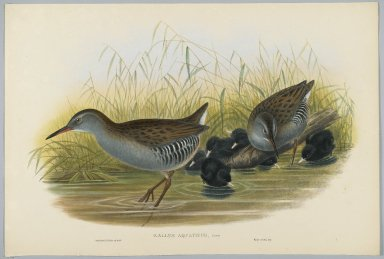 John Gould (British, 1804-1881). Rallus Aquaticus - Water Rail. Lithograph on wove paper, Sheet: 21 1/4 x 14 1/2 in. (54 x 36.8 cm). Brooklyn Museum, Gift of the Estate of Emily Winthrop Miles, 64.98.131