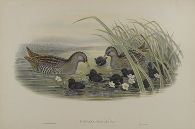 John Gould (British, 1804-1881). Porzana Maruetta - Spotted Crane. Lithograph on wove paper, Sheet: 21 1/4 x 14 1/2 in. (54 x 36.8 cm). Brooklyn Museum, Gift of the Estate of Emily Winthrop Miles, 64.98.133