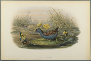 John Gould (British, 1804-1881). Porzana Pygmaea (Baillon's Crake). Lithograph on wove paper, Sheet: 21 1/4 x 14 1/2 in. (54 x 36.8 cm). Brooklyn Museum, Gift of the Estate of Emily Winthrop Miles, 64.98.134