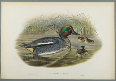 John Gould (British, 1804-1881). Querquedula Crecca: Teal. Lithograph on wove paper, Sheet: 21 1/4 x 14 1/2 in. (54 x 36.8 cm). Brooklyn Museum, Gift of the Estate of Emily Winthrop Miles, 64.98.137