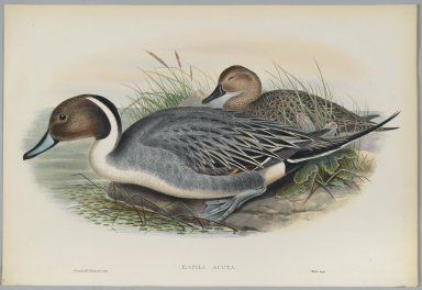 John Gould (British, 1804-1881). Dafila Avuta: Ducks. Lithograph on wove paper, Sheet: 21 1/4 x 14 1/2 in. (54 x 36.8 cm). Brooklyn Museum, Gift of the Estate of Emily Winthrop Miles, 64.98.138