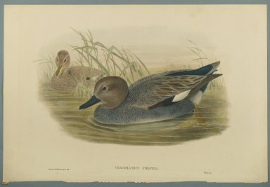John Gould (British, 1804-1881). Chaulelasmus Strepera: Gadwell Ducks. Lithograph on wove paper, Sheet: 21 1/4 x 14 1/2 in. (54 x 36.8 cm). Brooklyn Museum, Gift of the Estate of Emily Winthrop Miles, 64.98.139