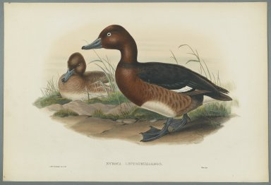John Gould (British, 1804-1881). Nyroca Leucophtalmos: White Eyes, or Ferruginous Duck. Lithograph on wove paper, Sheet: 21 1/4 x 14 1/2 in. (54 x 36.8 cm). Brooklyn Museum, Gift of the Estate of Emily Winthrop Miles, 64.98.140