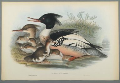 John Gould (British, 1804-1881). Mergus Serrator: Merganser. Lithograph on wove paper, Sheet: 21 1/4 x 14 1/2 in. (54 x 36.8 cm). Brooklyn Museum, Gift of the Estate of Emily Winthrop Miles, 64.98.141