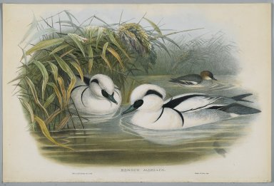 John Gould (British, 1804-1881). Mergus Albellus: Smew or Nun. Lithograph on wove paper, Sheet: 21 1/4 x 14 1/2 in. (54 x 36.8 cm). Brooklyn Museum, Gift of the Estate of Emily Winthrop Miles, 64.98.142